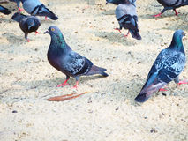 I would like to feed pigeons!. These adorable pigeons are competitively looking for nut seeds that I scattered to feed them Stock Images