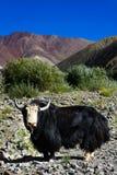 I yak a Stok variano, non lontano da NamnungLa passano sopra il modo a Sto Fotografia Stock