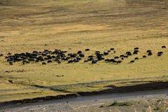 I yak tibetani sul campo di erba con l'agricoltore guidano sui cavalli Fotografia Stock Libera da Diritti
