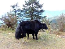 I yak vicino alla La di Chele passano sopra la strada di Dantak Fotografie Stock