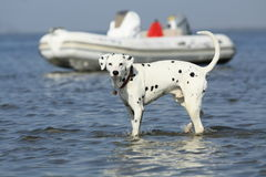 I am your friend, remember?. Dog running after fish in the danube delta Stock Photo