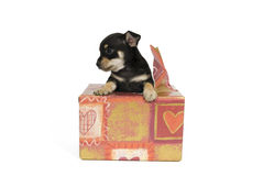 I am your gift!. A puppy comes from a gift out Royalty Free Stock Image