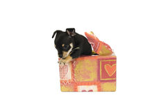 I am your gift!. A puppy comes from a gift out Royalty Free Stock Photography