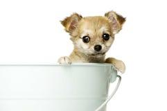 Ia do cachorrinho da chihuahua uma cubeta azul grande Imagem de Stock Royalty Free