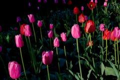 Ia rojo y púrpura de la salida del sol de los tulipanes un parque Foto de archivo