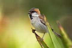 Iago Sparrow - iagoensis del transeúnte - varón - también conocido como el Cabo Verde o el gorrión rufo-apoyado, es endémico al a Fotografía de archivo