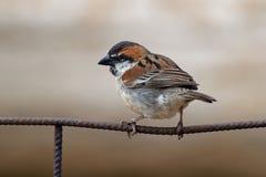 Iago Sparrow - iagoensis del transeúnte - varón - también conocido como el Cabo Verde o el gorrión rufo-apoyado, es endémico al a Fotos de archivo