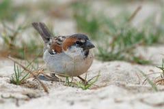 Iago Sparrow - iagoensis del transeúnte - varón - también conocido como el Cabo Verde o el gorrión rufo-apoyado, es endémico al a Imagen de archivo