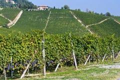 Ialian Vineyards Royalty Free Stock Image