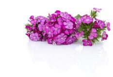 ianthus barbatus (Sweet William) pink flowers isolated on white Stock Photo