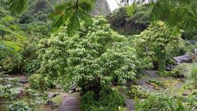 Iao谷树 库存图片