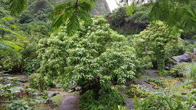 Iao valley trees Stock Images
