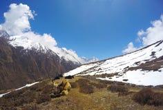 Iaques de descanso, no passeio na montanha do acampamento base de Everest Imagens de Stock
