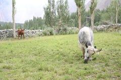 Iaques e vaca nos pastos Imagem de Stock Royalty Free