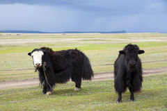 Iaques em estepes do Mongolian Foto de Stock Royalty Free