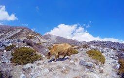 Iaques em Himalaya, perto do acampamento base de Everest Foto de Stock