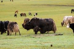Iaques em Mongólia Imagens de Stock