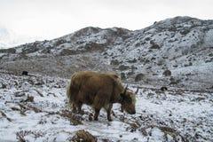 Iaques em montanhas de Himalaya foto de stock