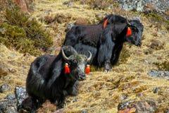 Iaques em montanhas de Himalaya imagem de stock