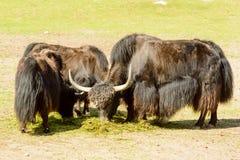 Iaques, grunniens do Bos Foto de Stock Royalty Free
