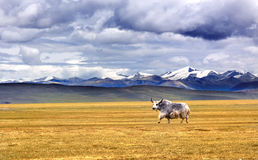 Iaques no platô de Tibet Fotos de Stock