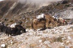 Iaques que escalam um monte, passeio na montanha do acampamento base de Everest, Nepal fotos de stock