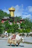 Iaques tibetian grandes que estão no quadrado central de Shangri-La Fotos de Stock Royalty Free