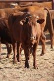 Iarda del bestiame Fotografie Stock Libere da Diritti