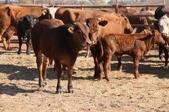 Iarda del bestiame Fotografia Stock Libera da Diritti