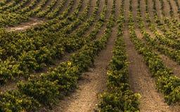 Iarda della vite del vino Fotografia Stock Libera da Diritti