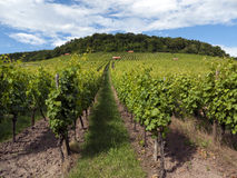 Iarda tedesca del vino Fotografie Stock
