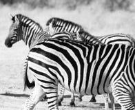 ib Ботсвана зебры стоковые изображения rf