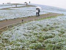 Ibaraki, Japão 16 de abril de 2018: Os turistas estão admirando o nemophila Imagens de Stock Royalty Free