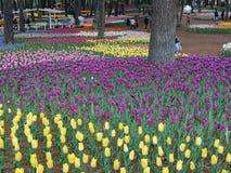 Ibaraki, Japão 16 de abril de 2018: Os turistas estão admirando tulipas dentro Imagem de Stock Royalty Free