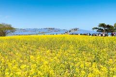 IBARAKI-JAPAN- 16-ое апреля: Красивый сезон холма kochias весной Стоковые Фото