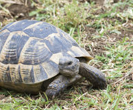 Ibera tortuga/del graeca griegos del Testudo foto de archivo libre de regalías