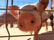 Iberia-cerdo detrás de la granja de la nariz del cerdo de la cerca Imágenes de archivo libres de regalías