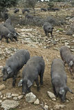 Iberian black pigs in the pasture. Some iberian pigs eating acorn from the trees in the pasture stock photo