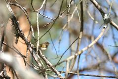 Iberian chiffchaff royalty free stock photo