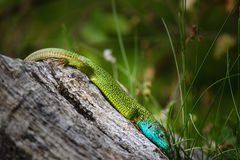 Free Iberian Emerald Lizard Royalty Free Stock Photography - 92091957