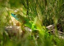 Free Iberian Emerald Lizard Royalty Free Stock Photos - 92092058