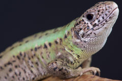 Iberian emerald lizard female / Lacerta schreiberi Royalty Free Stock Image