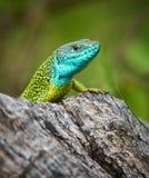 Iberian emerald lizard. Lacerta Schreiberi on a tree stump in the grass stock images