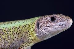Iberian emerald lizard male / Lacerta schreiberi Stock Image