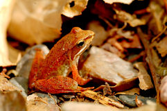 Iberian Frog. An iberian frog (rana iberica stock images
