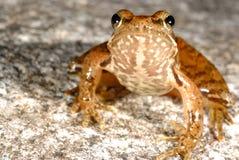 Iberian frog Rana iberica in a pond of Baixa-Limia, Orense, Spain. Iberian long-legged frog Rana iberica in a pond of Baixa-Limia, Orense, Spain Royalty Free Stock Images