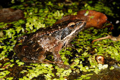 Iberian frog Rana iberica in a pond of Trives, Orense, Spain Royalty Free Stock Image