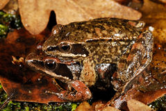Iberian frogs Rana iberica in a pond of Trives, Orense, Spain stock photography