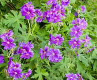 Iberian Geranium Stock Photos