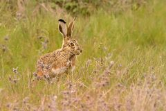 Iberian Hare - Lepus granatensis - The Granada hare, also known as the Iberian hare, is a hare species that can be found on the Ib. Erian Peninsula and on the stock images
